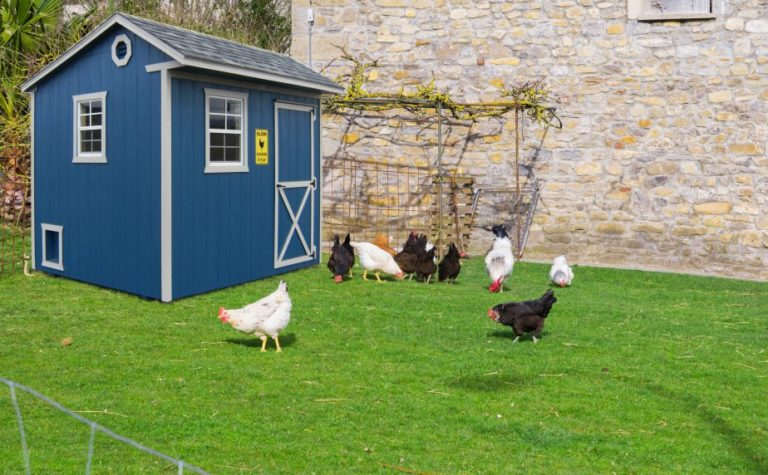backyard chickens to grow your own food